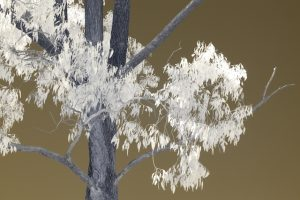 Infrared photograph of Australian tree, white leaves against gold sky